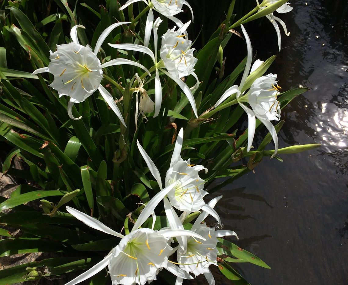 DONATION TO SCNPS HELPS PROTECT ROCKY SHOALS SPIDER LILY
