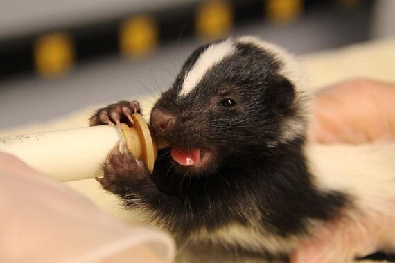 baby skunk 6 18 2020